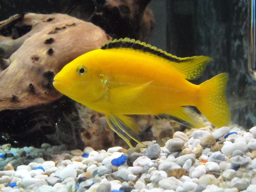Tieranzeigen labidochromis kleinanzeigen for Fisch barsch
