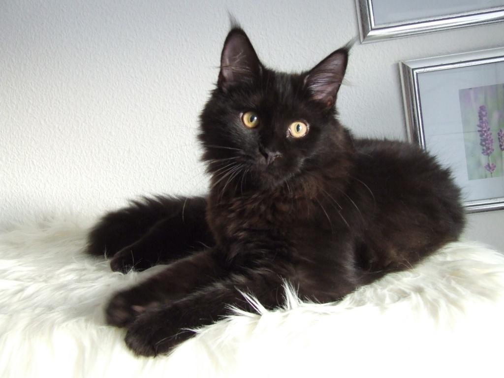 Cat Black Turkish Angora Mix