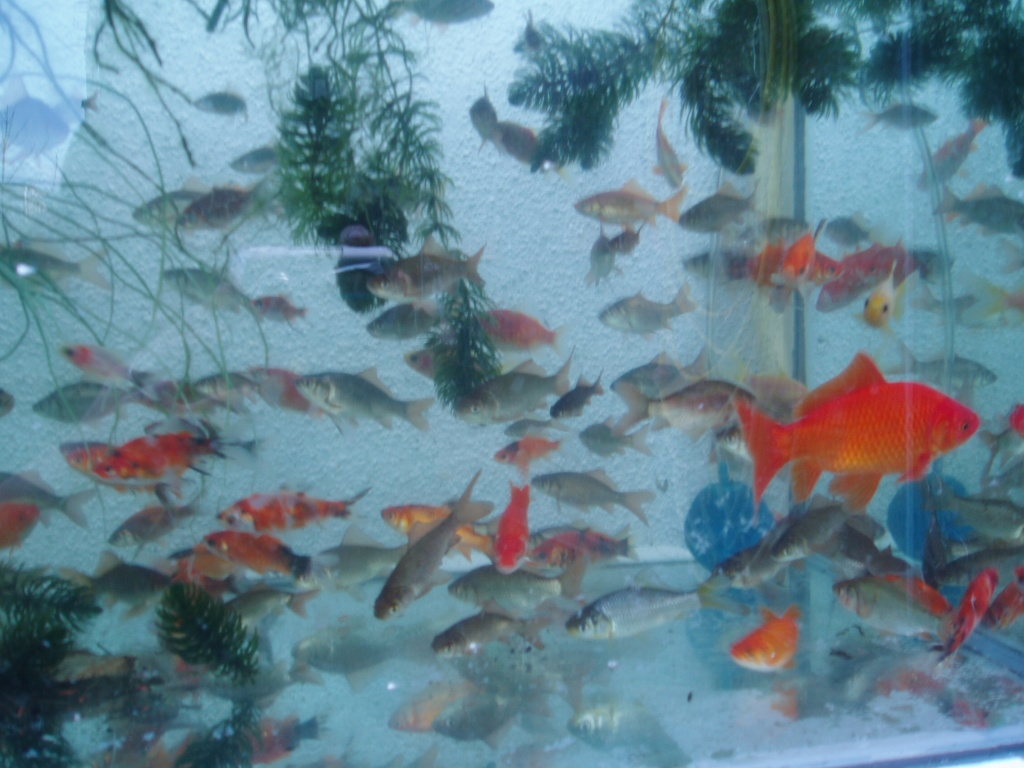 Tieranzeigen goldfische kleinanzeigen for Gartenteich goldfische