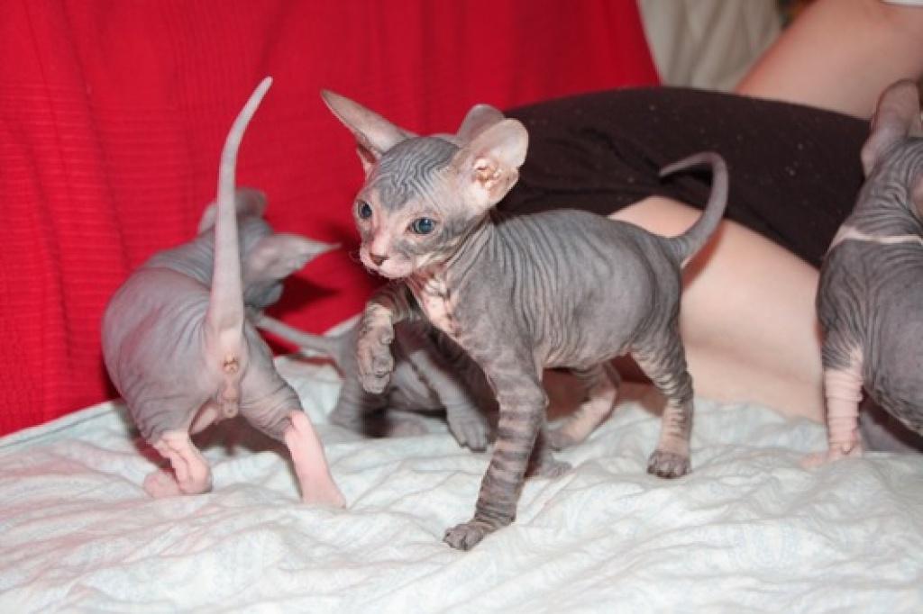 Katzen - Rassekatzen - Sphynx Tieranzeigen