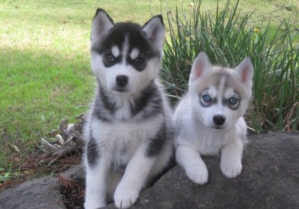 blaue augen siberian husky welpen husky. Black Bedroom Furniture Sets. Home Design Ideas