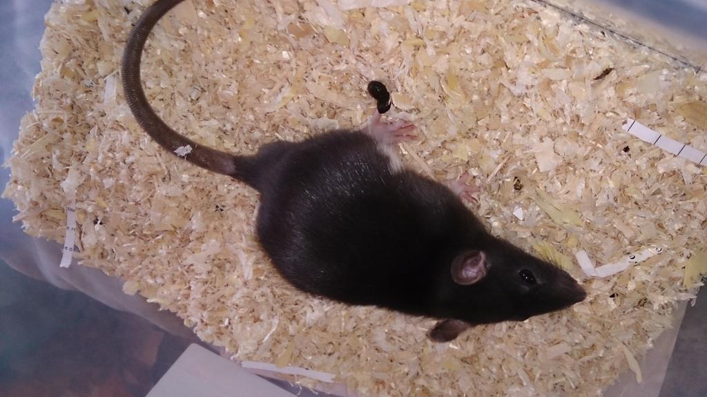 ratten im haus ratten im haus einschlupf 7 ratten im haus so wird man sie los ratten im haus. Black Bedroom Furniture Sets. Home Design Ideas