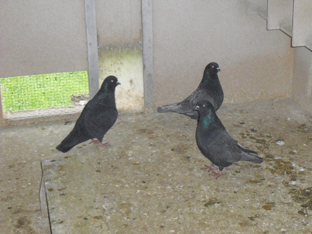 Vögel Tauben Tieranzeigen