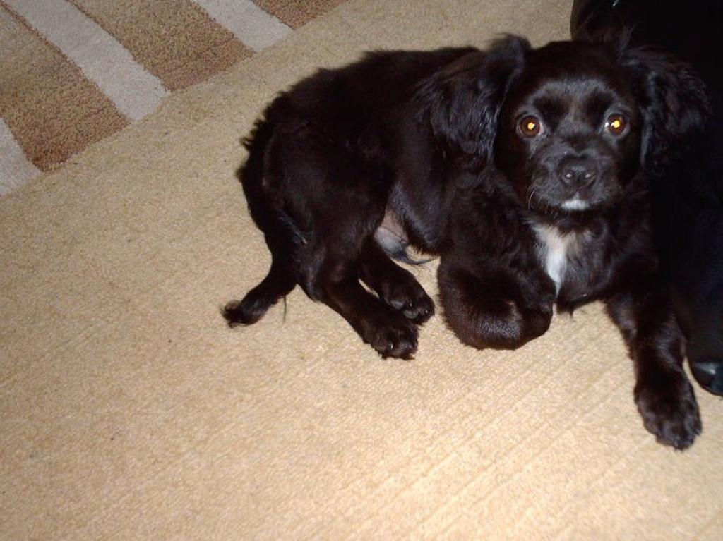 Hunde Rassehunde Pekinese Tieranzeigen