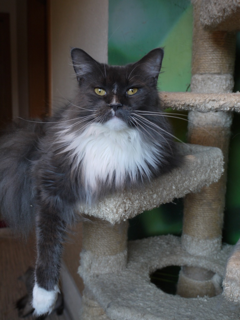 Grey Maine Coon With Black Cat