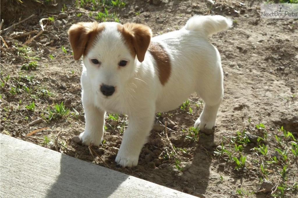 Hunde - Rassehunde - Terrier Tieranzeigen Seite 4