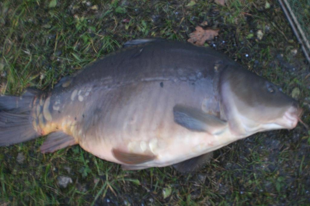 Tieranzeigen graskarpfen kleinanzeigen for Teichfische verkauf