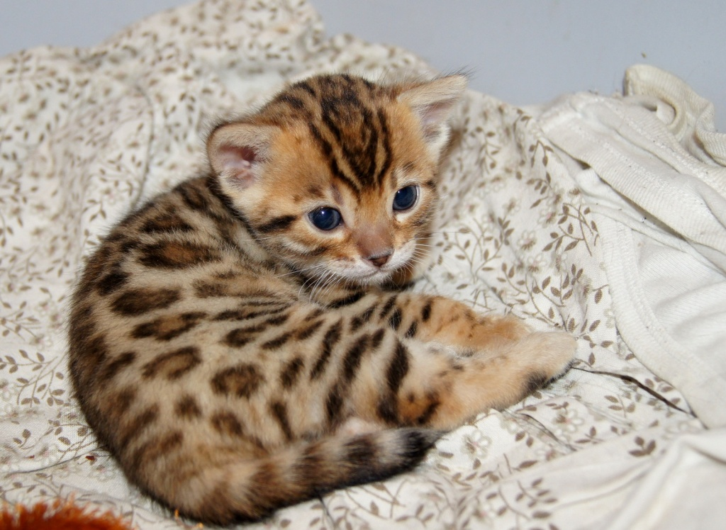 Bengal cats full grown