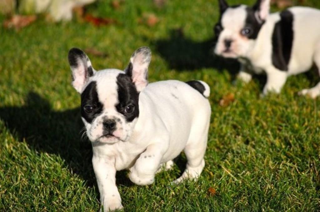 Tieranzeigen Bulldoggen Kleinanzeigen