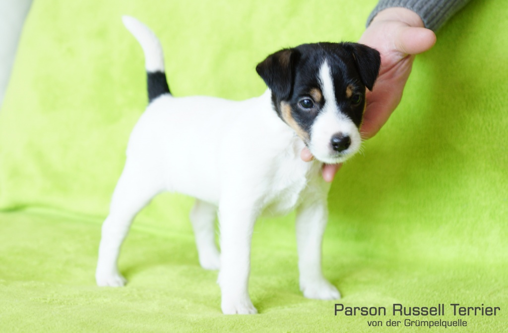 Parson Russell Terrier H 252 Ndin Tricolor Terrier