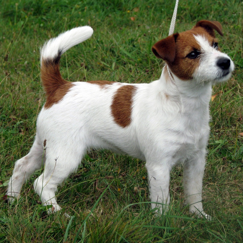Sonstige Hunderassen: Reinrassige Jack Russel Terrier