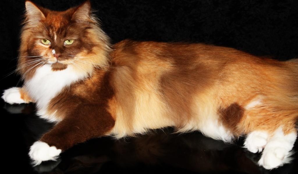 Katzen Rassekatzen Sibirische Katze Tieranzeigen