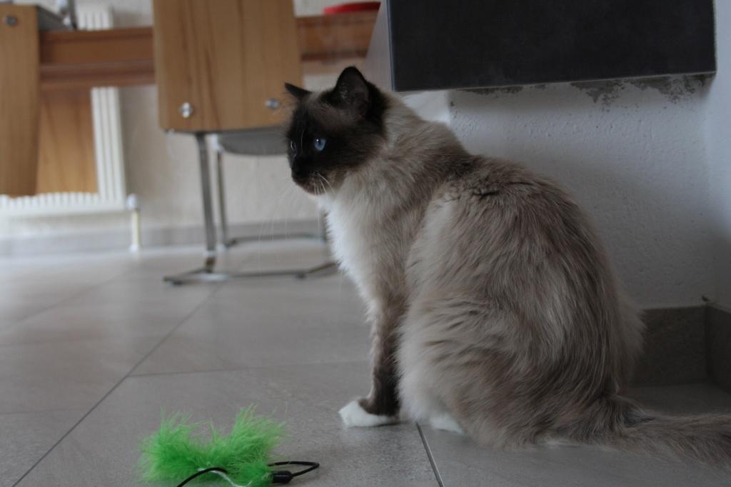 Katzen Rassekatzen Birma Tieranzeigen