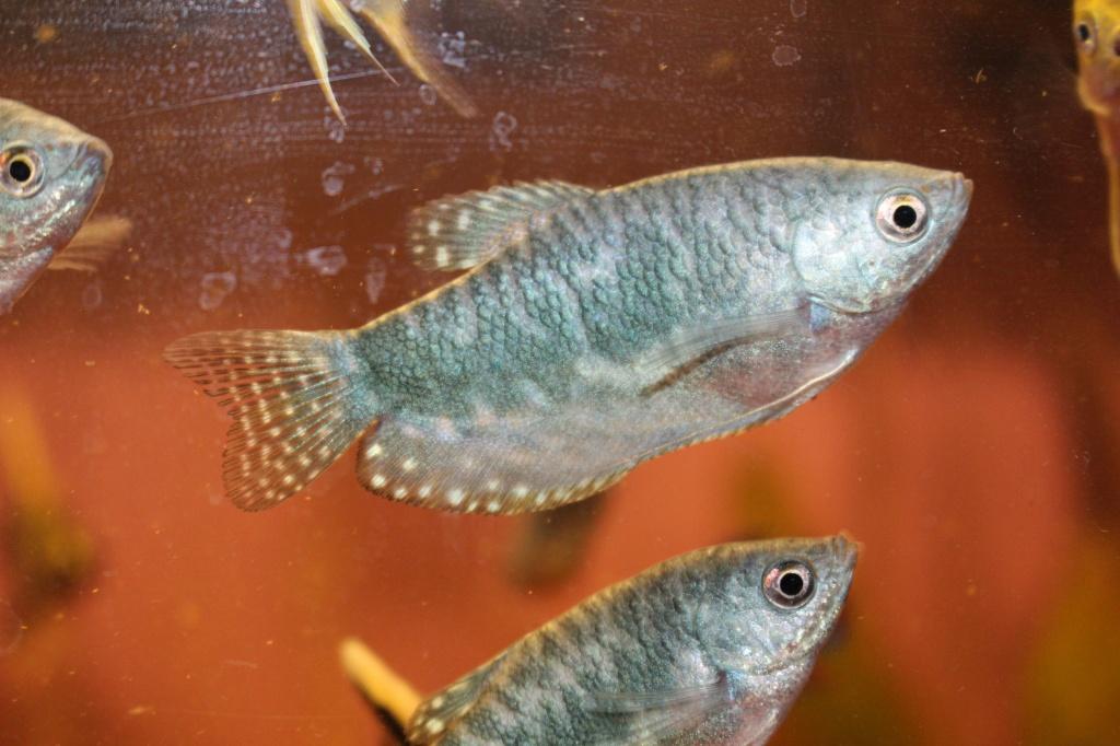 Tieranzeigen fadenfische kleinanzeigen for Fadenfische zucht