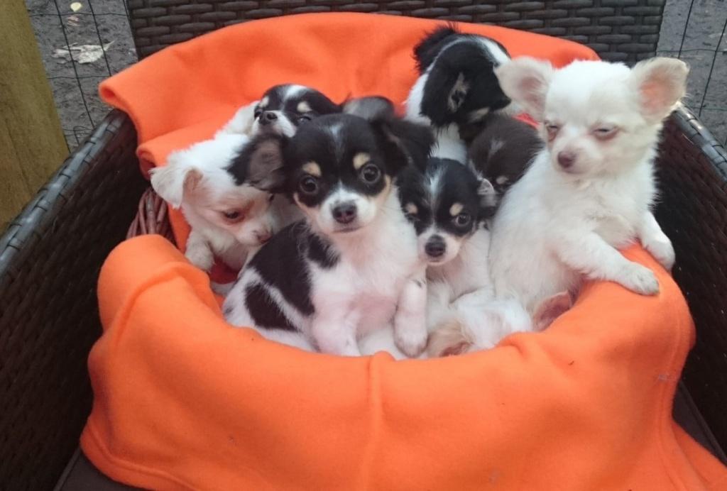 Hunde Rassehunde Chihuahua Tieranzeigen