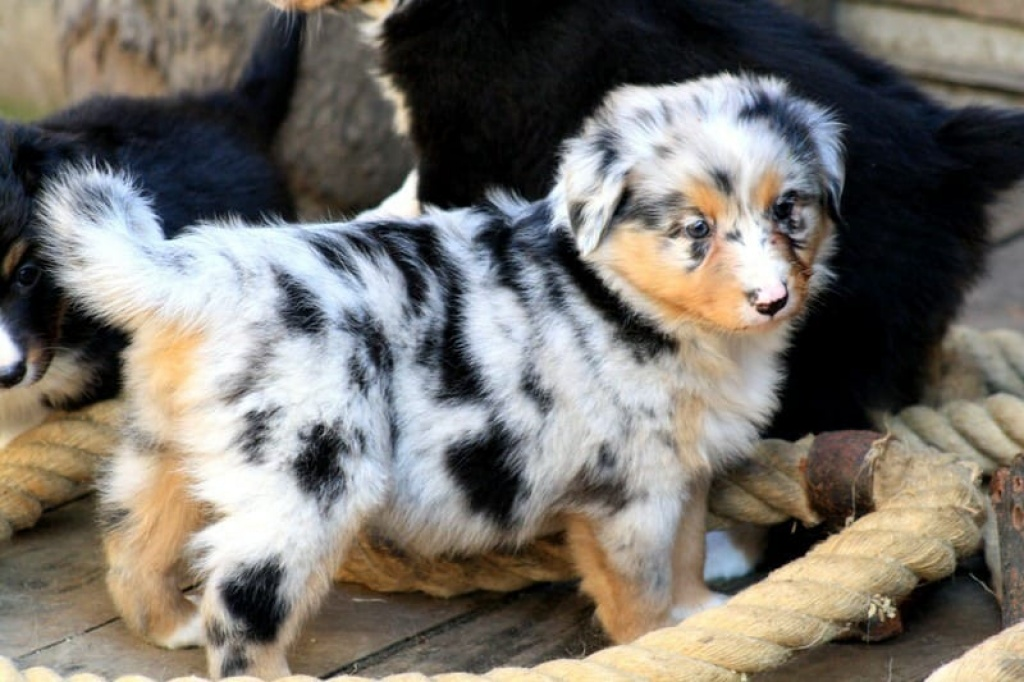 Pictures Of Collie Mix Dogs