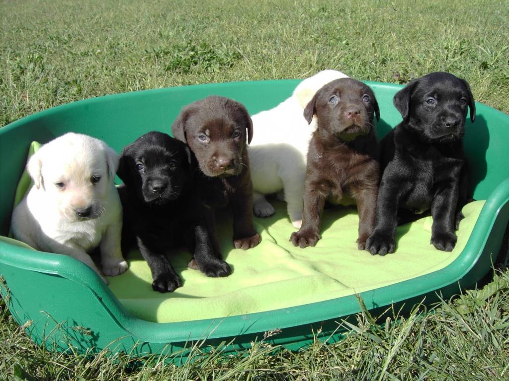 Bildschöne Labradorwelpen in allen Farben - Labrador
