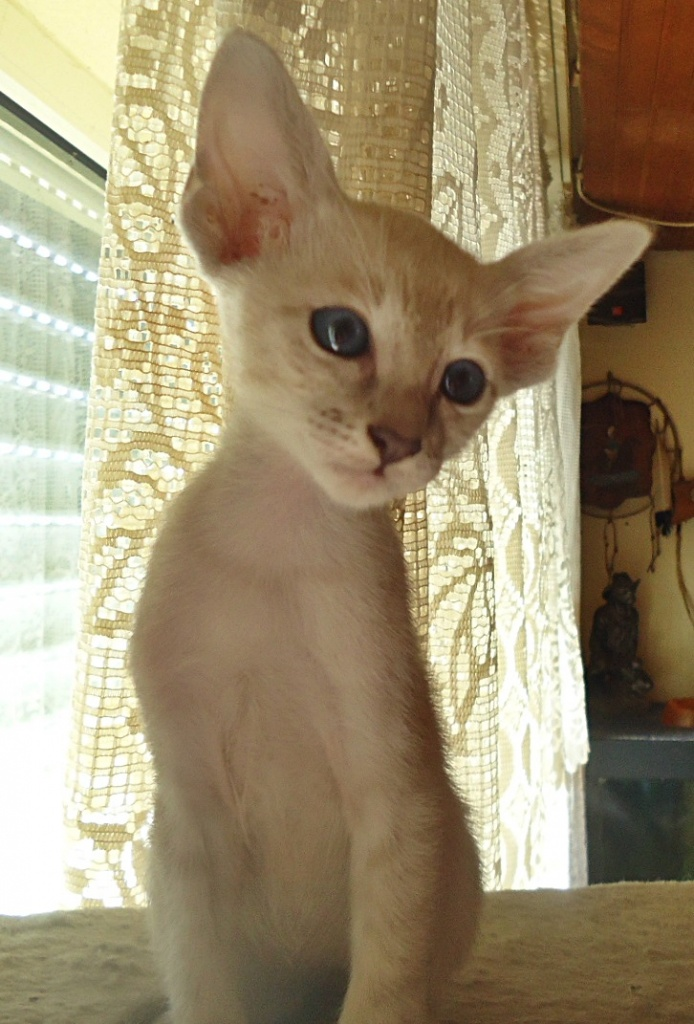 bengal cats for sale ny