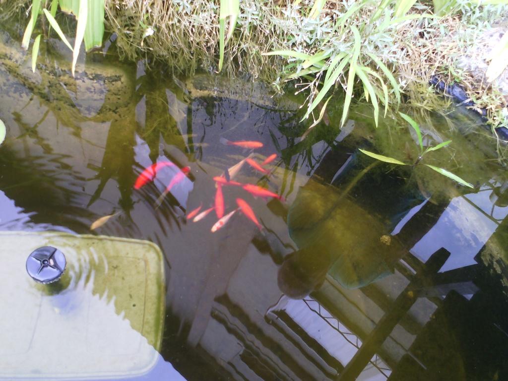 Alter goldfische gartenteich garten design ideen um ihr for Gartenteich goldfische