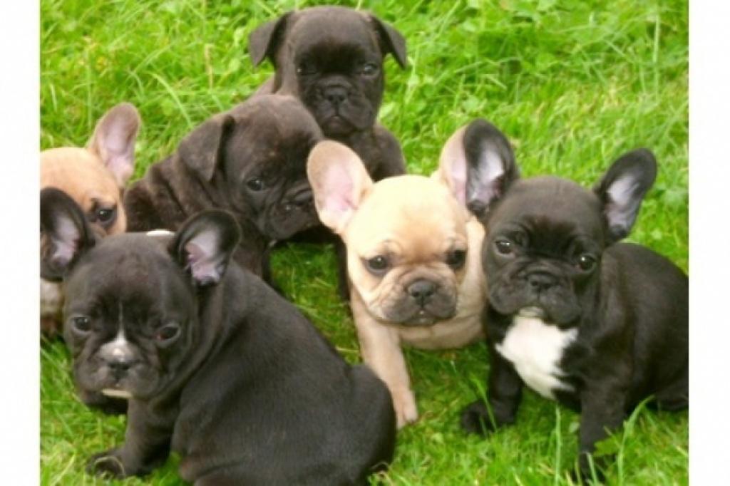 tieranzeigen bulldoggen kleinanzeigen. Black Bedroom Furniture Sets. Home Design Ideas