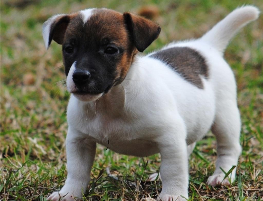 Hunde Rassehunde Jack Russell Terrier Tieranzeigen