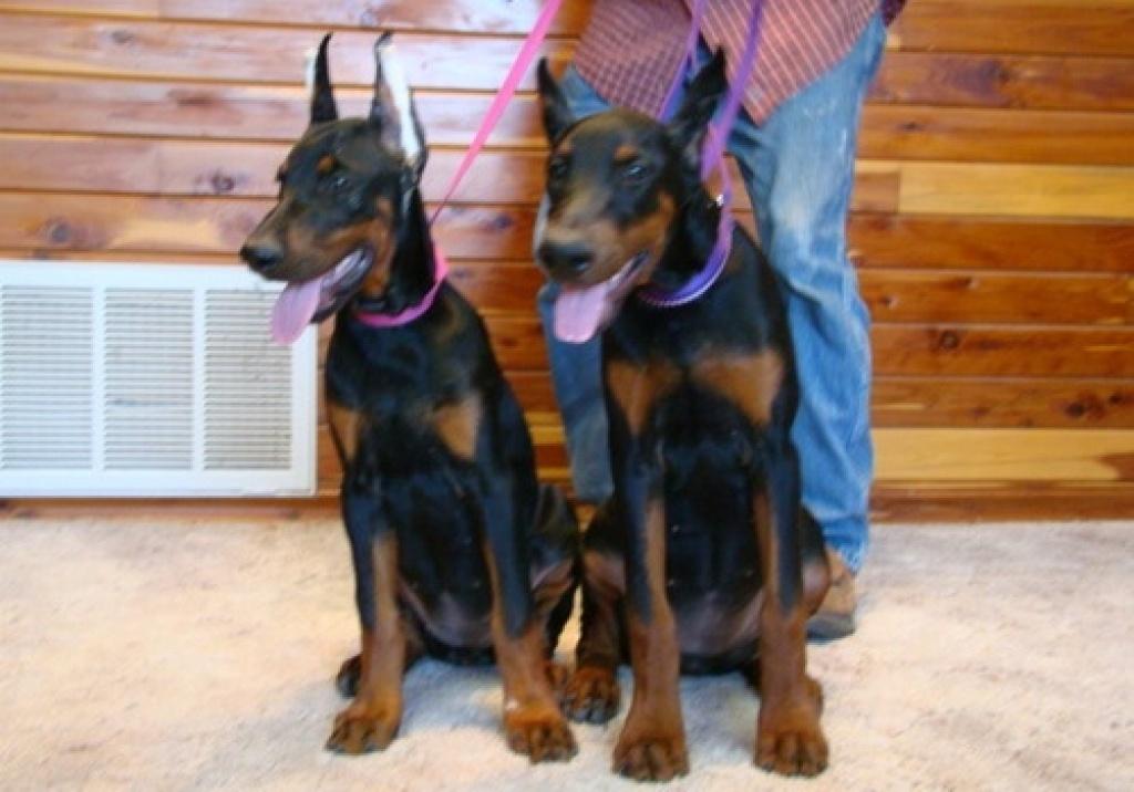 Hunde Rassehunde Dobermann Tieranzeigen Seite 2