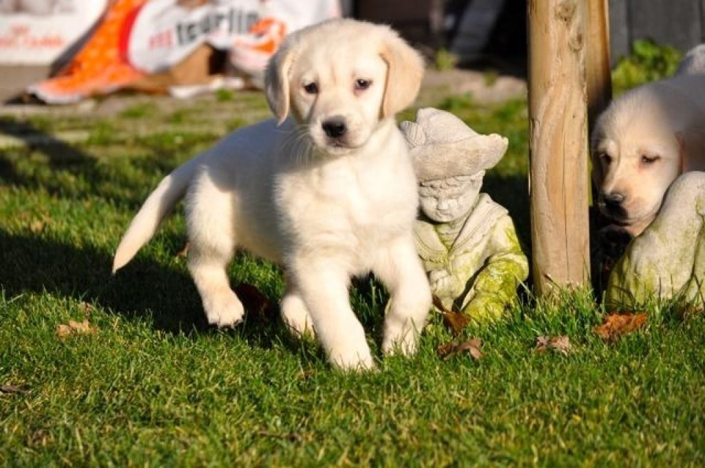 Hunde Rassehunde Labrador Tieranzeigen