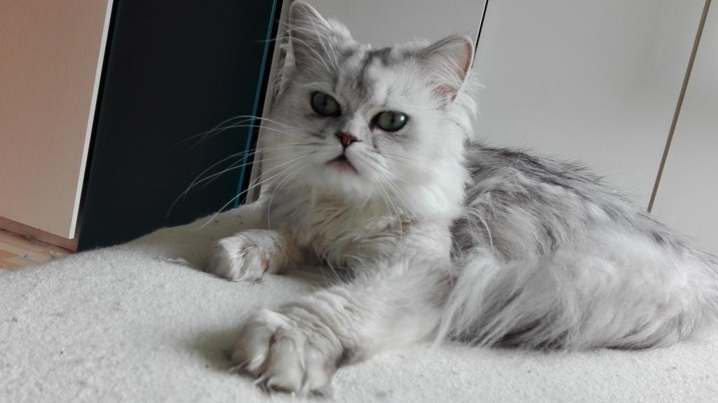 Bengal Cat White Chin