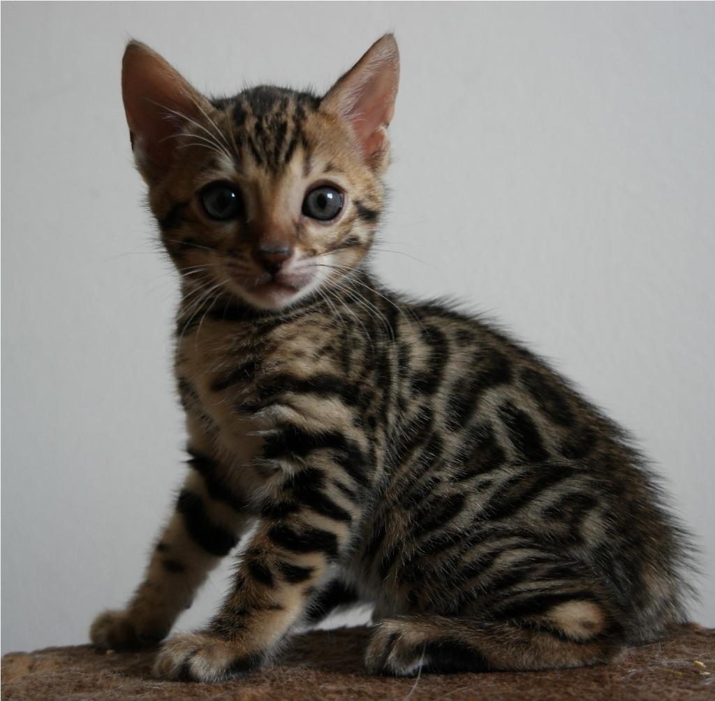 Katze Bengal