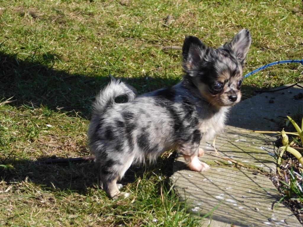 Hunde - Rassehunde - Chihuahua Tieranzeigen Seite 11