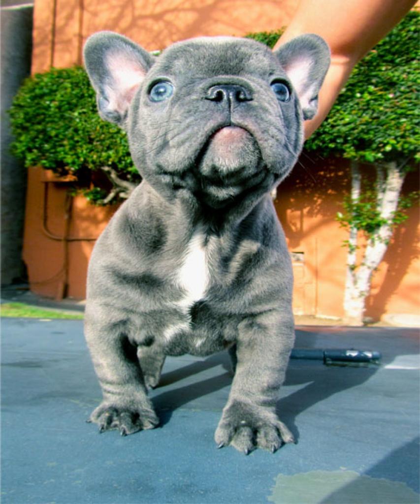 Wer Verschenkt Haus: Französische Bulldoggen Welpen Mit Papieren