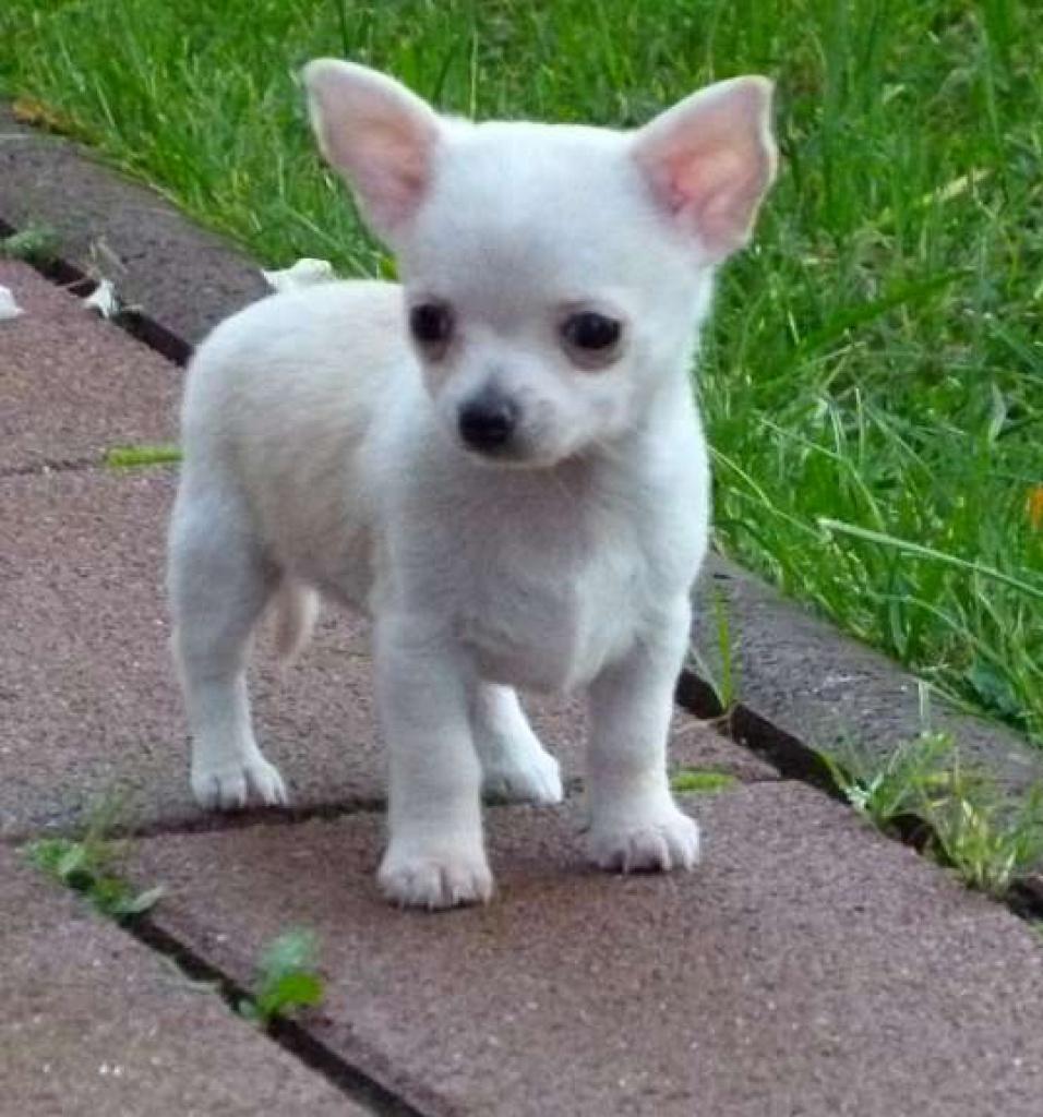Hunde - Rassehunde - Chihuahua Tieranzeigen Seite 8