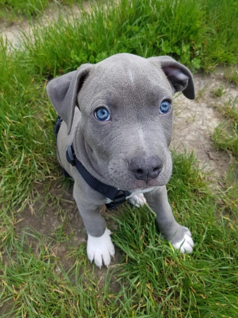 American Staffordshire Welpen Blue Line Terrier