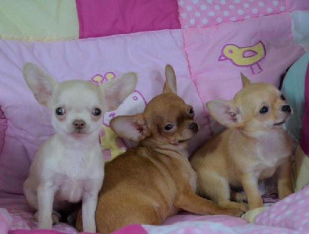 Echte Mini Chihuahua Welpen Kaufen Chihuahua