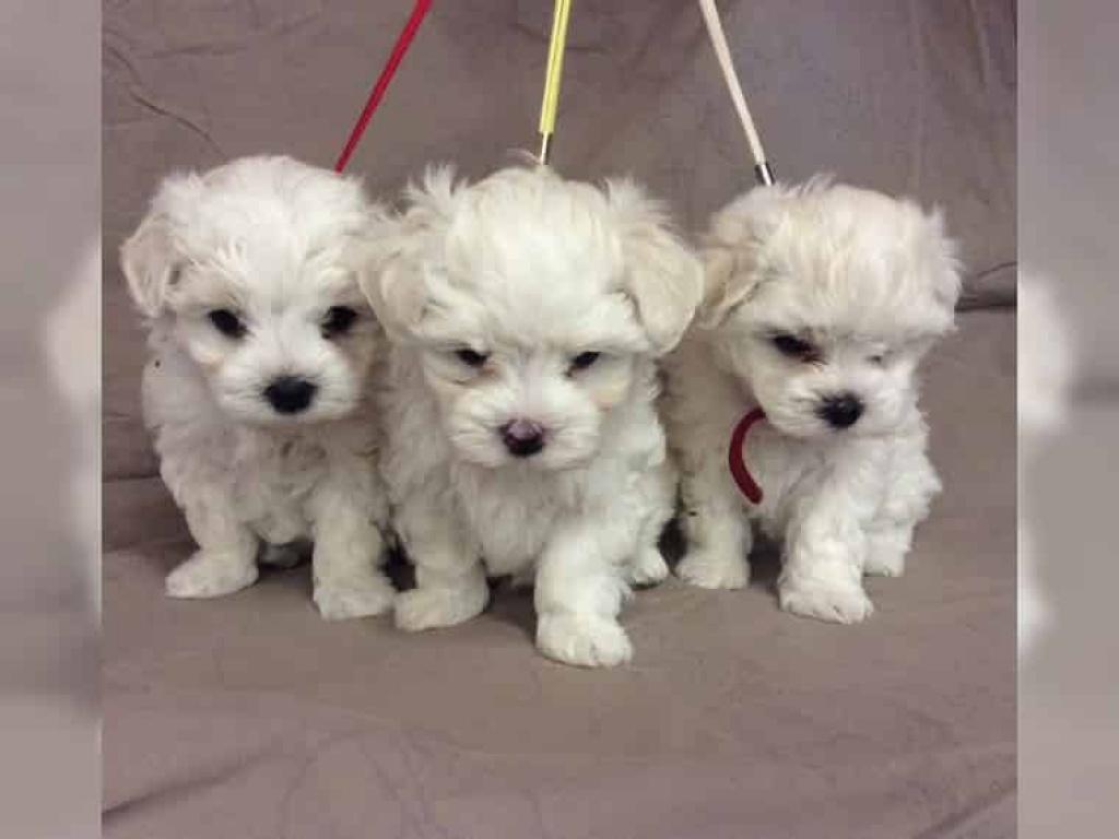 Hunde Rassehunde Malteser Tieranzeigen Seite 4