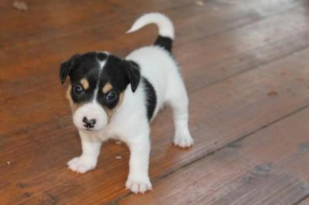 Hunde Rassehunde Jack Russell Terrier Tieranzeigen Seite 1