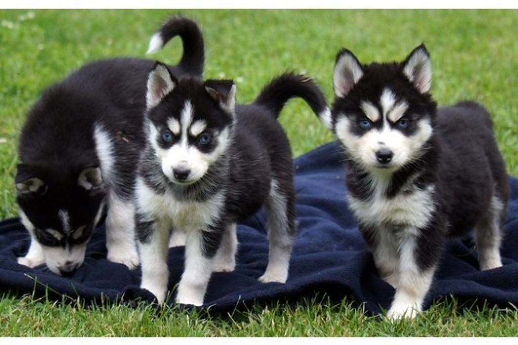 Hunde Rassehunde Husky Tieranzeigen Seite 6