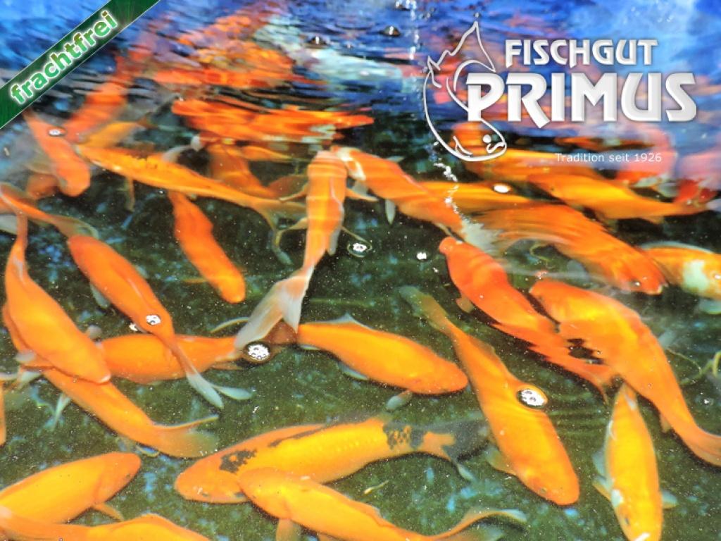 Fische goldfische tieranzeigen for Fische goldfische