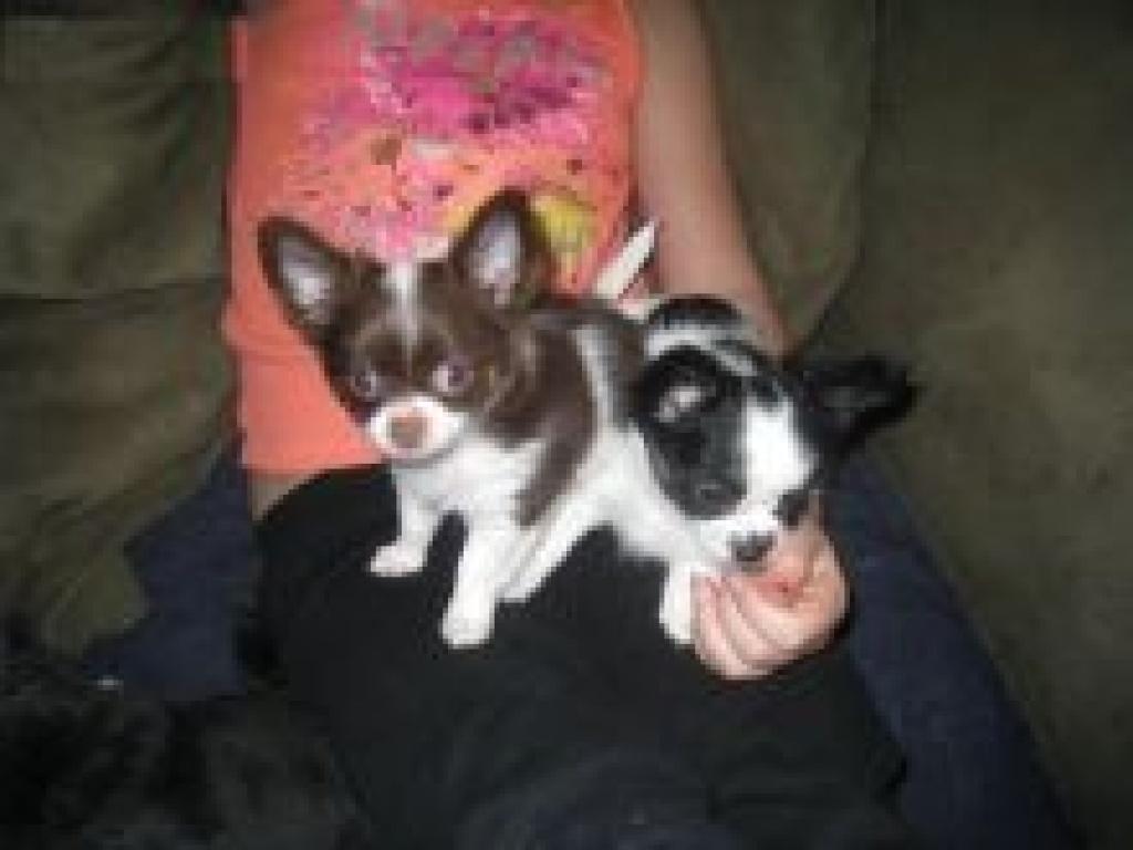 Hunde Rassehunde Chihuahua Tieranzeigen Seite 3
