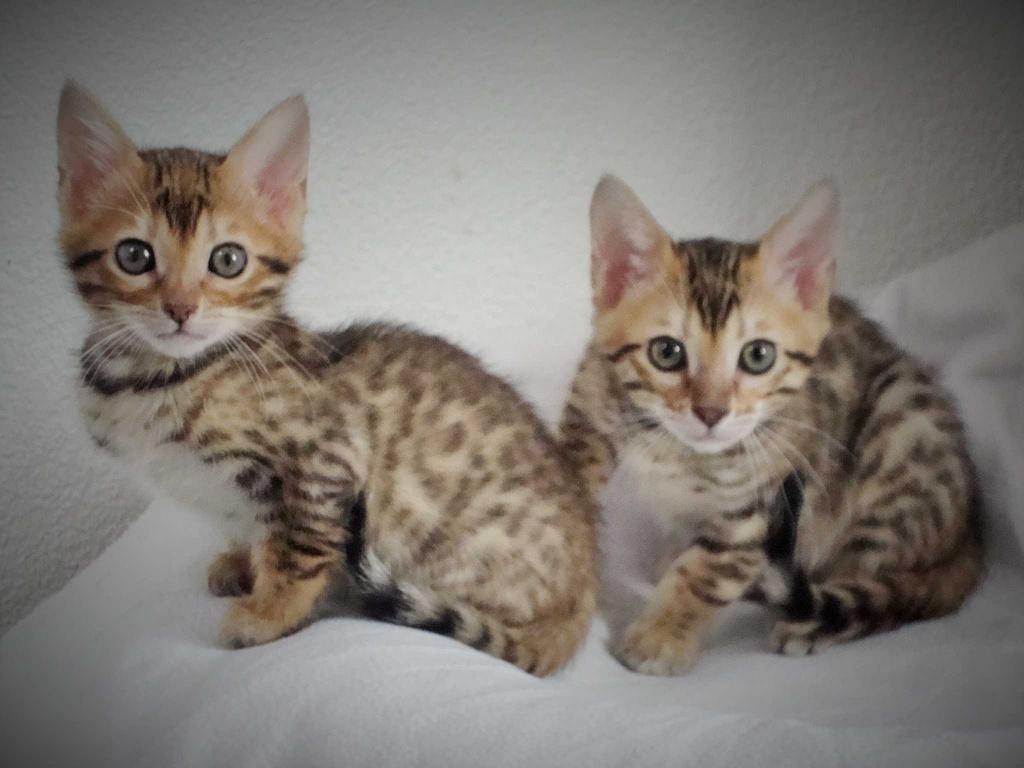 Katzen - Rassekatzen - Bengal Cat Tieranzeigen