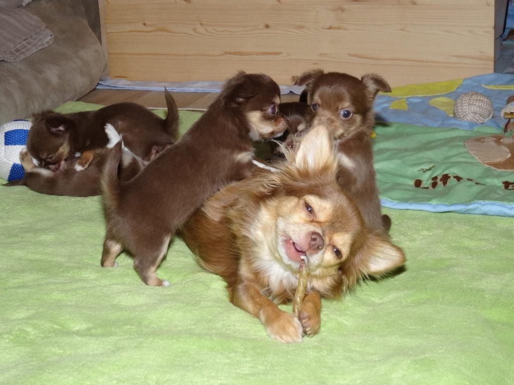 Zuckersusse Chihuahua Welpen In Schoko Tan Langhaar Chihuahua