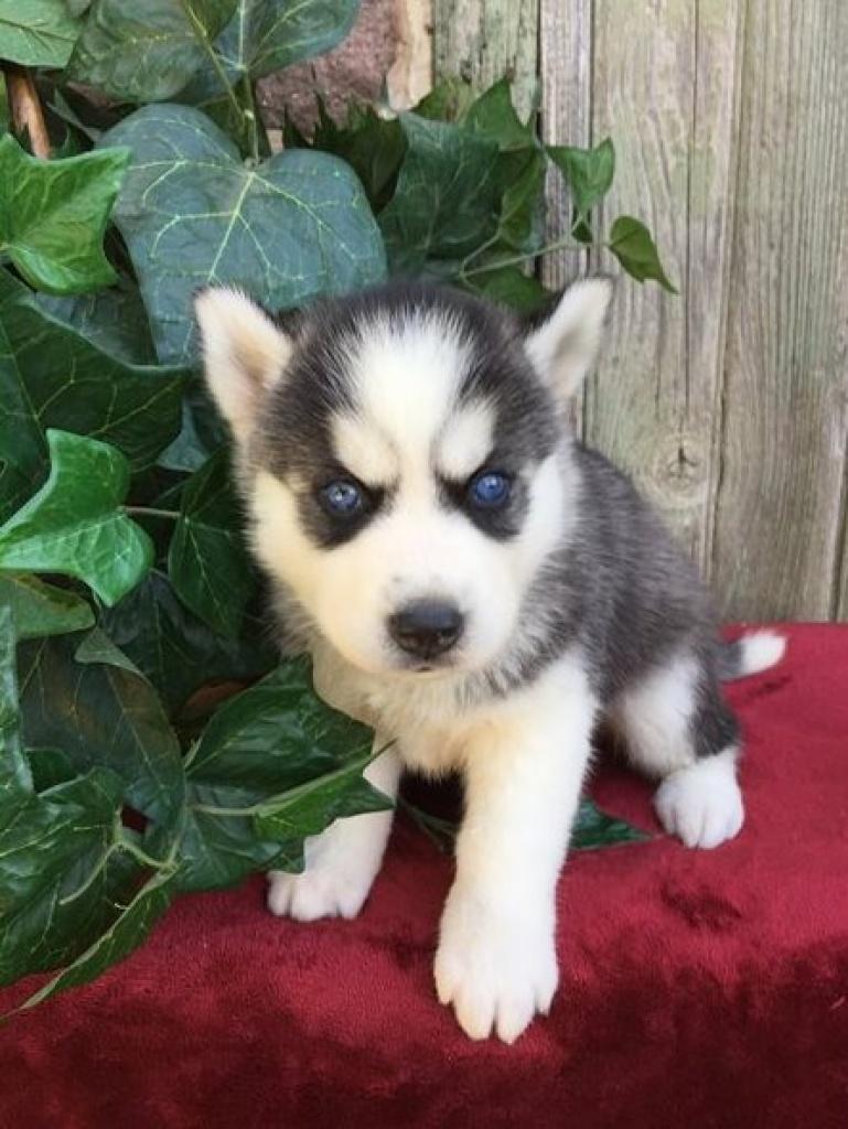 Hunde Rassehunde Husky Tieranzeigen