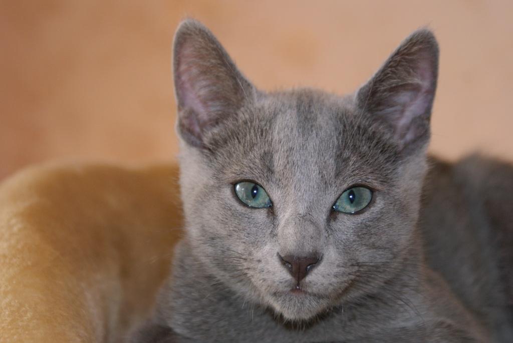 Katzen - Rassekatzen - Russisch Blau Tieranzeigen Seite 2