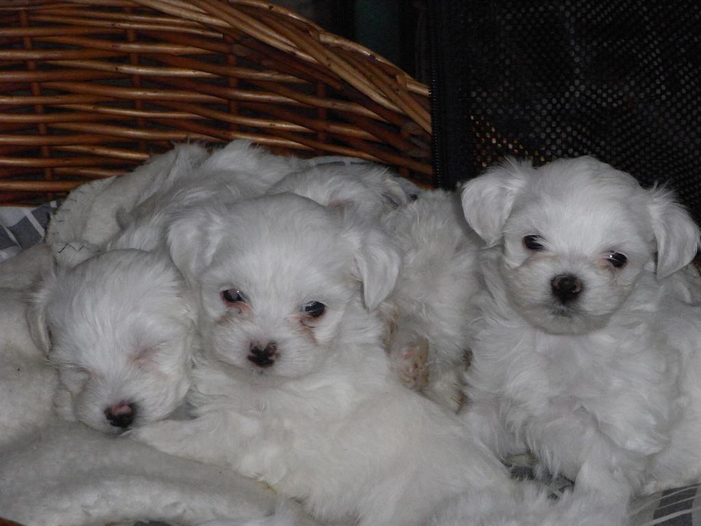Hunde Rassehunde Malteser Tieranzeigen Seite 5