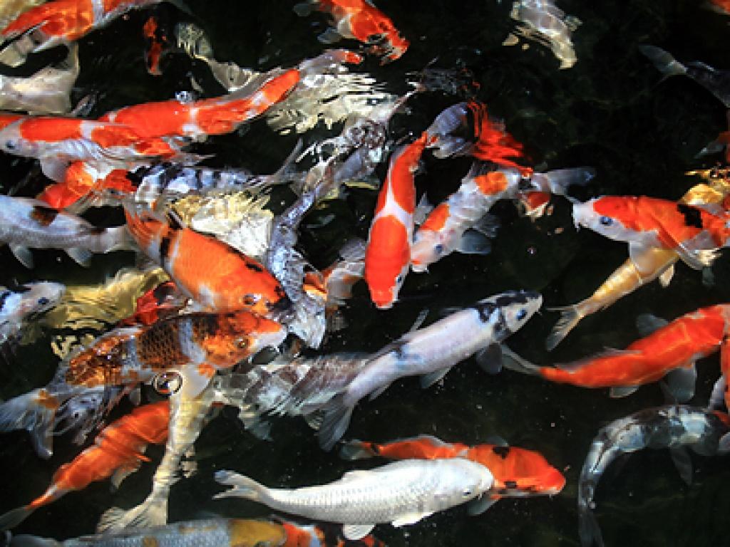 Tieranzeigen goldfische kleinanzeigen for Koi und goldfische