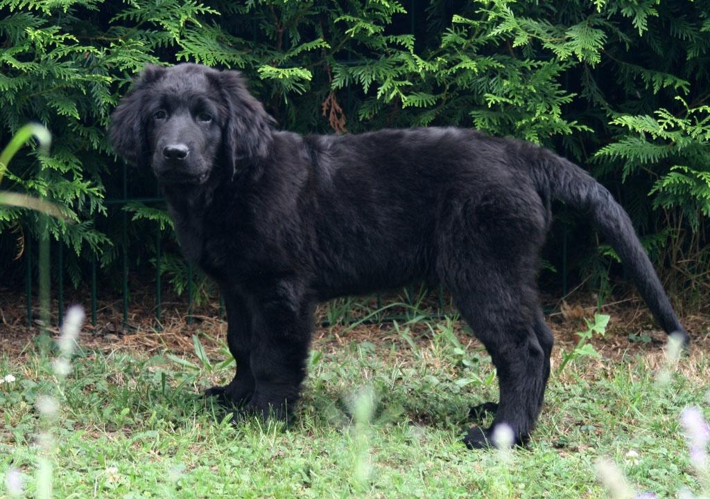 Hunde Rassehunde Hovawart Tieranzeigen Seite 1