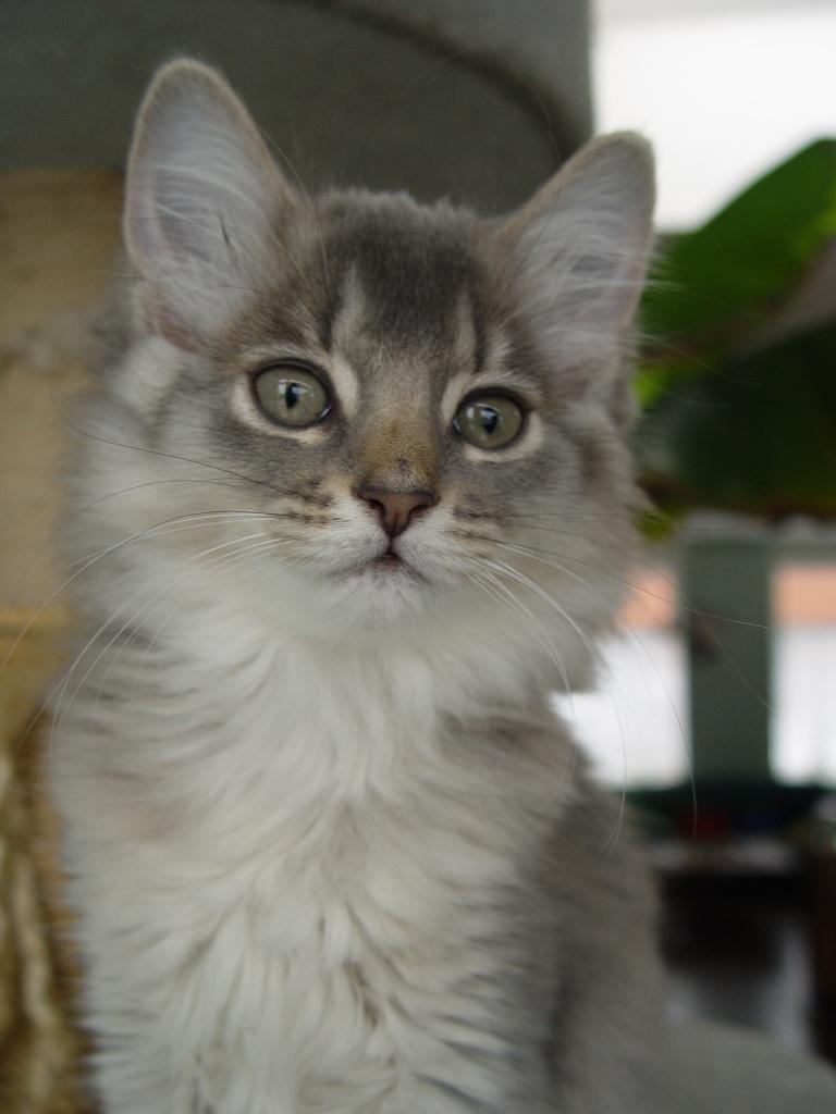 Katzen Rassekatzen Somali Tieranzeigen