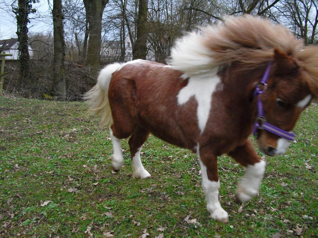 Shetland Pony Zu Verschenken