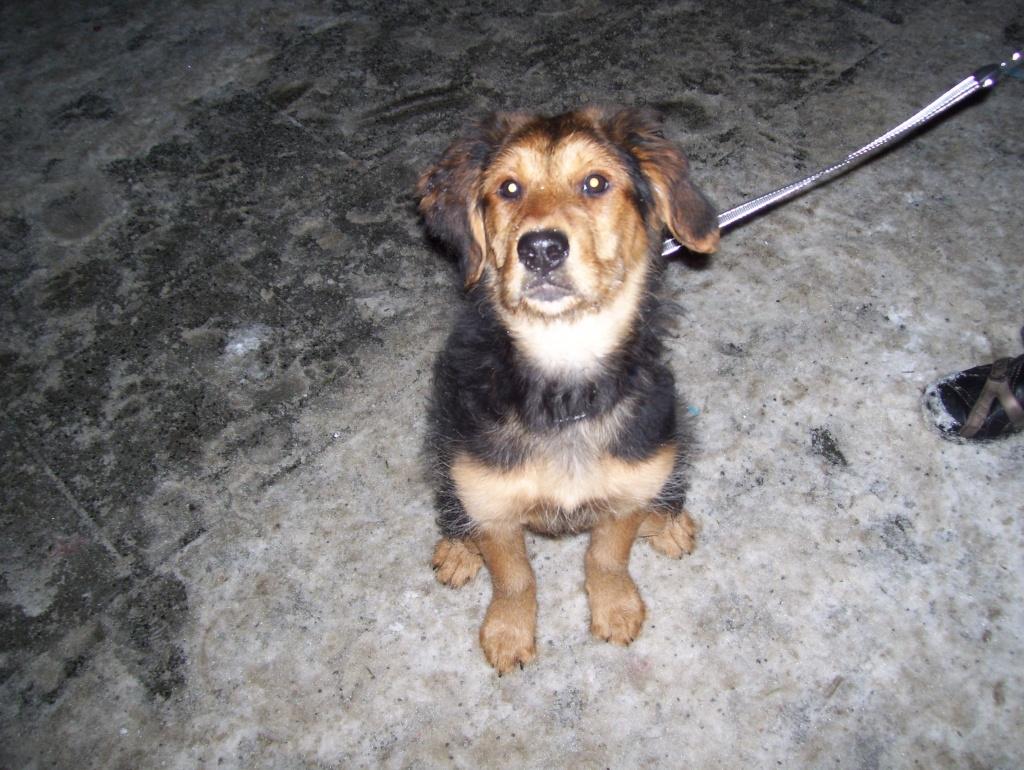 Labrador Retriever Golden Retriever Mix
