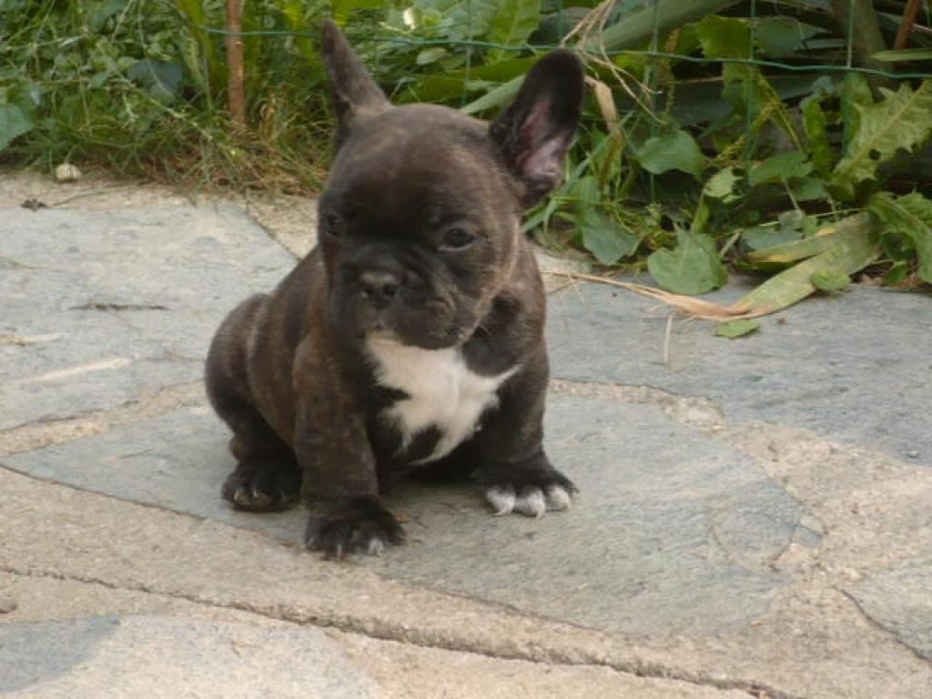 Franzosische bulldogge und katze